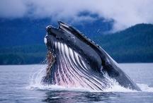 Bultrug / Humpback Whale