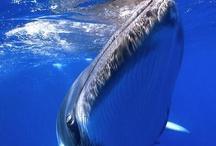 Dwergvinvis / Minke whale