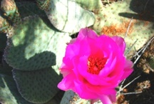 Arizona Wildflowers / Pictures of wildflowers I have taken around the Bagdad area. / by Linda Beyea-Miller