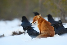 Hares.Owls. Ravens.Crows. Foxes. Wolves & Bees