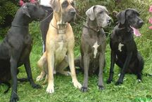 We Love Our Dogs / Any thing related to my Great Danes (or other dogs)!!! / by Laura Sturmer-Roberts