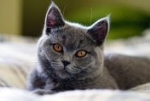 British shorthair cat / My beloved Mademoiselle Megan  + pics of other beautiful British Shorthair cats