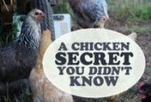 Backyard Chicken Project / Anything and everything chicken related -- let's get more clucking & bah-gock-ah-ing into backyards everywhere! / by Homesteader Hub