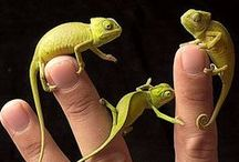 Chameleons / Easily my favourite group of reptiles...