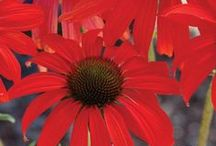 perennials red