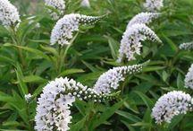 perennials white