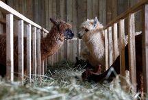 Barns and Livestock