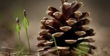 Pine Cones From the Tree / Learn about pine cones that come from conifer trees. Pine cones have some mystical properties that go back to ancient times, these natural wonders inspire creative crafting.