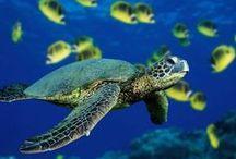 Grenada Sea Turtles / #Grenada #GND #PureGrenada #PureParadise #SpiceIsland @GrenadaBnB #GrenadaBnBLife #Paradise #TikiTime #SeaTurtles #Surf #Scuba #Snorkel #Sail #WaterFalls #Hike #Bike #Rainforest #Beaches #Mango #Coconut #Rum #RumPunch #Caribbean #Travel #Beaches #Dining #Liming