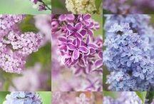 5 - Gardening: Trees & Shrubs / Common Name: Plant Type: Zones: Light: Height: Spread: Habit: Soil: pH: Moisture: Bloom Time: Bloom Size: Foliage Size: Companion Plants: