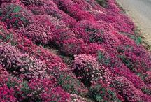 5 - Gardening: Ground Covers / Common Name: Plant Type: Zones: Light: Height: Spread: Habit: Soil: pH: Moisture: Bloom Time: Bloom Size: Foliage Size: Companion Plants: