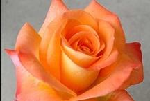 "Il Nome della Rosa ♣♣ Roses / ""Stat rosa pristina nomine, nomina nuda tenemus.""  Antiques and botanicals , with their names."