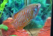 Fish / Fresh water tropical fish