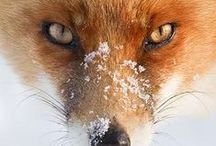 Foxes / by Sweet Rose
