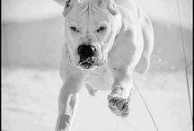 Dogo Argentino / by Kay Johnson