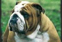 English Bulldogs / My favorite breed