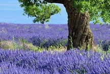 Lavenders, Wisterias and other Purple Beauties. / by Mark Stone