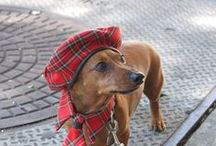 Dachshunds In Disguise - Costumes & Clothing / A Crazy Dachshund Lady Board Dedicated to the Costumed and Well-Dressed Dachshund - even though my Doxie, Dax, is a confirmed Nudist ;) / by Gina Sanders