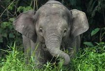 Elephants / So Majestic, Yet So Sensitive, Loyal, And Sweet. Adore them...Love them.