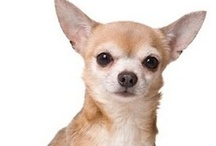 Chihuahuas / No Pin Limits On This Board. Feel Free To Repin. / by Veronica H