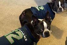 Bostons / Boston Terriers