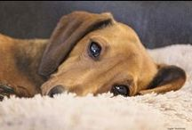 Dachshund Love / I am undeniably, irrevocably, completely, and totally IN LOVE with dachshund's....   / by ~☆Angie☆~