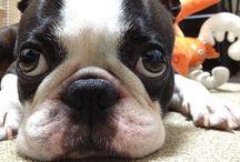 boston terriers / by Anastacia Lee