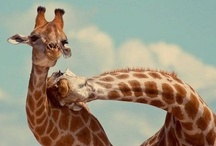 Giraffes and Ziraffes / I have a giraffe who lives in Vietnam. His name is Kevin.  Darlingest Kevin...this board is dedicated to you.  / by Mandy Harmon