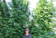Growing Marijuana at Home / cannabis home growing tools and tips || off-topic pins and advertising spam will be deleted || supported by: www.weedist.com / by Weedist