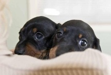 Dachshunds / by Tiffany Ish