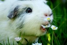 Pig cochon : all pigs / This is all pigs : baby pigs, pigs, guinea pigs... Tous les cochons sous toutes leurs formes : porcelet, truie, cochon, cochon d'Inde, objets...