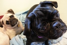 Pugs / by Annette Thompson