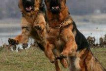 German shepherd curiosities . . .