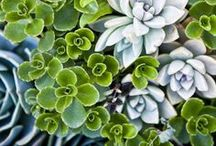 """Succulents / More than a """"Growing"""" trend, succulents are a low maintenance option for both garden and home decorating needs. Flowerland's diverse selection of colors, textures, shapes, and sizes can make any area feel alive.These drought tolerant beauties are gems in landscape hotspots, standalone gardens or playing center stage in a container. from home accents to creative centerpieces succulents are perfect eye catching displays. Stop in today!"""