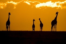 Giraffe / by Vicki Mothes