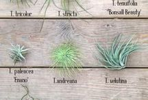 ✽ Air Plants and Terrariums / Epiphytes delight! Air plants need no soil to grow, and can be mixed with other plants to make beautiful terrariums.