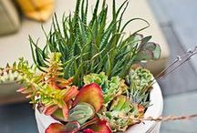 ✽ Succulents and Cacti / This board is dedicated to colorful, spiky, and fascinating drought loving plants!
