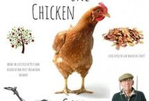 Backyard Chickens / backyard chickens, raising chickens, keeping chickens, chicken coops, chicken tips, chicken care, raising poultry, raising guineas,  homesteading, egg layers, backyard eggs