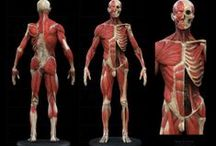 Muscles and Vascular