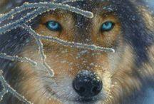 Il lupo e le sue emozioni