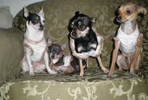 Dogs / Chihuahuas & Animales