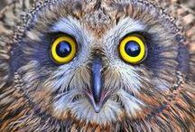 Owls-Gufi