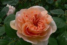 The roses David Houstin / My roses