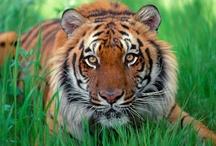 Tigers / by Kris Tarr