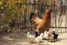 Hens & Roosters / by Ruthie True