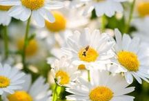 Daisies / All types and colors of daisies and asters