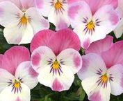 Pansies / Violas / Violets