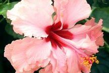 Hibiscus / Tropical Hibiscus