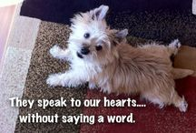 Cairn Terrier / by Lynne S