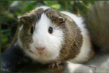CUTE lil g.pigs / All things guinea pigs xx / by Jules Whittemore